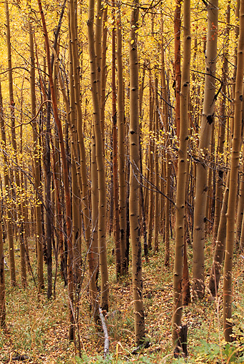 LAN 07 RF0205 01 © Kimball Stock Arapahoe National Forest Aspen Grove In Autumn Colorado
