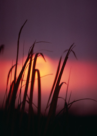LAN 07 RK0053 01 © Kimball Stock Silhouette Shot Of Tall Grass In Sunset