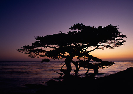 LAN 07 RK0136 05 © Kimball Stock Silhouette Shot Of Cypress Trees At Sunset