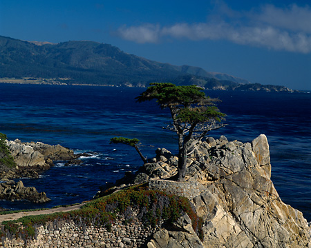 LAN 07 RK0153 01 © Kimball Stock Cypress Tree In Rock Ledge   Monterey, CA
