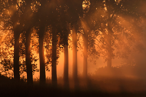 LAN 08 KH0009 01 © Kimball Stock Rising Sun Piercing Through Mist And Row Of Poplars In France