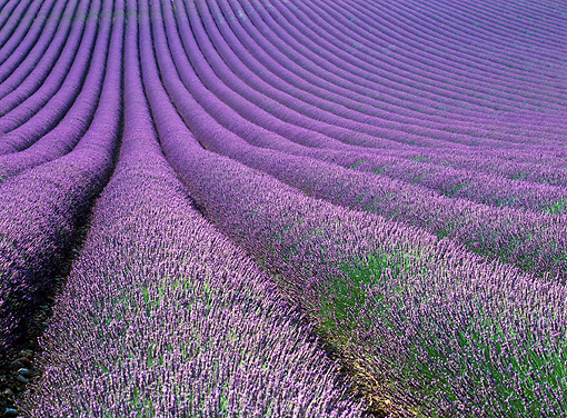 LAN 08 KH0018 01 © Kimball Stock Lavender Field In Provence France