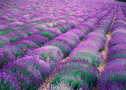 LAN 08 KH0019 01 © Kimball Stock Lavender Field In Provence France