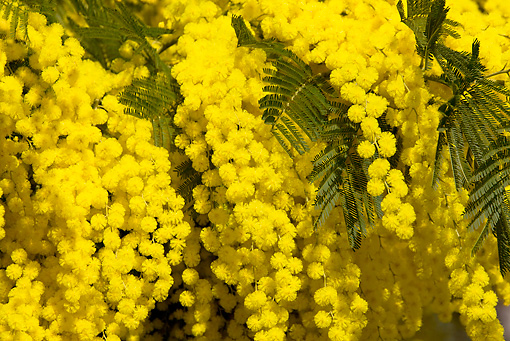 LAN 08 KH0020 01 © Kimball Stock Close-Up Of Winter Acacia Branches In Bloom In Provence France
