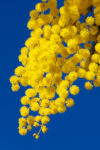 LAN 08 KH0021 01 © Kimball Stock Close-Up Of Winter Acacia Branche In Bloom In Provence France