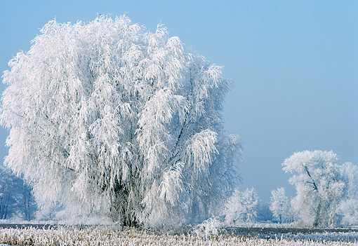 LAN 08 KH0029 01 © Kimball Stock Frosty White Willow Tree In Winter