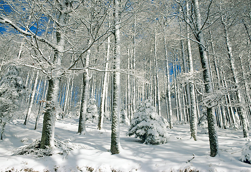 LAN 08 KH0030 01 © Kimball Stock Trees In Winter