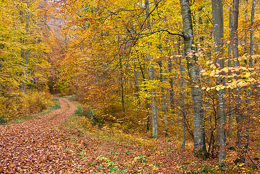 LAN 08 KH0035 01 © Kimball Stock Path In Deciduous Forest In Autumn France