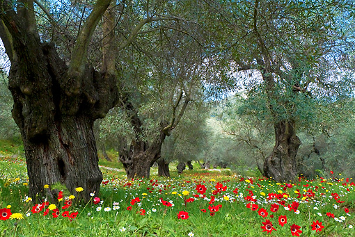 LAN 08 KH0048 01 © Kimball Stock Olive Grove In Spring Garden Greece