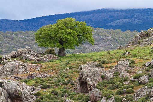 LAN 08 KH0050 01 © Kimball Stock Solitary Oak Tree In Rocky Lesbos Island, Greece