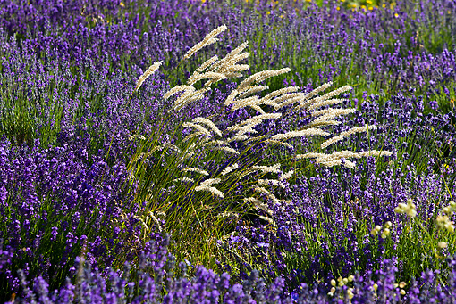 LAN 08 KH0051 01 © Kimball Stock Tufts Of Grass In Field Of Lavender Provence, France