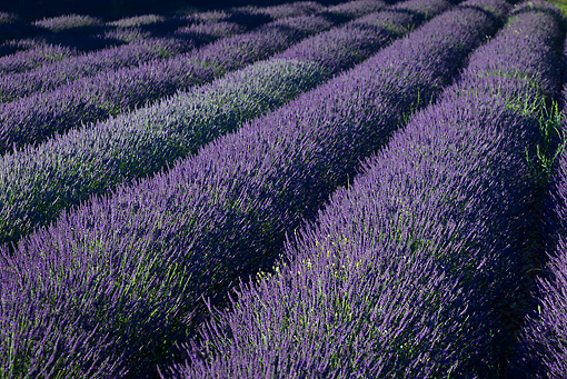 LAN 08 KH0052 01 © Kimball Stock Field Of Lavender In Summer Provence, France
