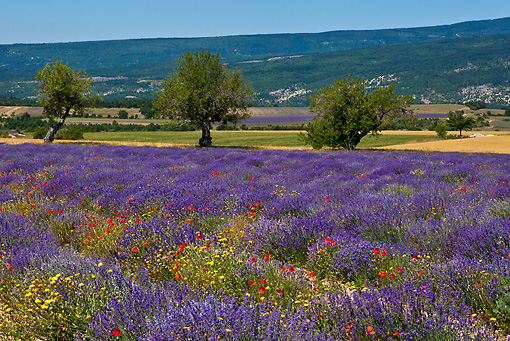 LAN 08 KH0053 01 © Kimball Stock Field Of Lavender, Poppies, Asteraceae And Almond Trees With Mt. Ventoux In Background Provence, France