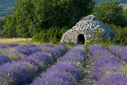 LAN 08 KH0055 01 © Kimball Stock Lavender Field In Front Of Borie Provence, France