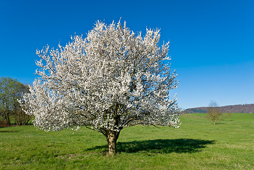 LAN 08 KH0070 01 © Kimball Stock Blackthorn Tree In Bloom In Spring Meadow Alsace, France