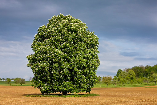 LAN 08 KH0072 01 © Kimball Stock Blossoming Chestnut Tree In Field Alsace, France