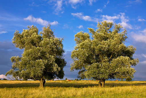 LAN 08 KH0073 01 © Kimball Stock Two White Willow Trees In Meadow Lorraine, France