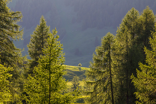 LAN 08 KH0081 01 © Kimball Stock Alpine Larch Trees In Dolomites South Tyrol, Italy