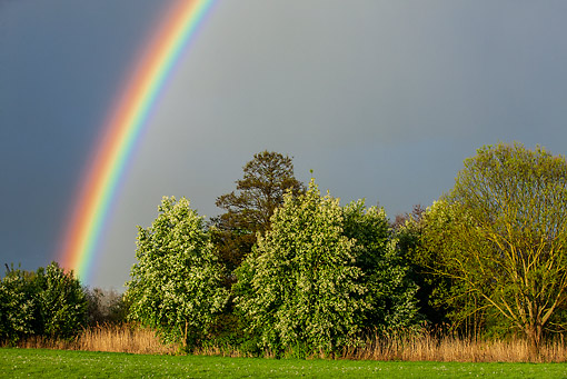 LAN 08 KH0086 01 © Kimball Stock Rainbow In Grove Of Cherry Trees And Willows In Alsace, France