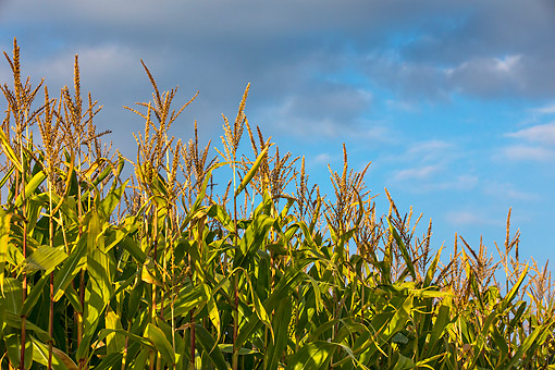 LAN 08 KH0087 01 © Kimball Stock Field Of Ripe Corn In Late Afternoon France