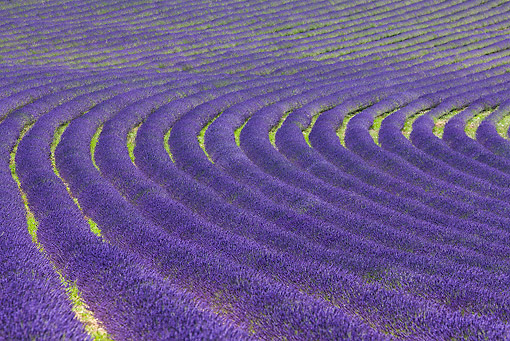 LAN 08 KH0099 01 © Kimball Stock Field Of Lavender In Drome Provencale, France