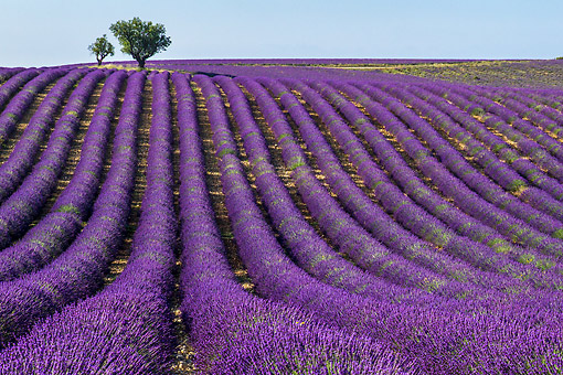 LAN 08 KH0101 01 © Kimball Stock Field Of Lavender And Almond Trees In Valensole Provence, France
