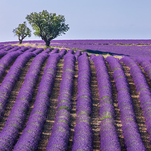 LAN 08 KH0102 01 © Kimball Stock Field Of Lavender And Almond Trees In Valensole Provence, France