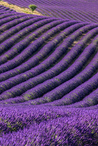 LAN 08 KH0104 01 © Kimball Stock Field Of Lavender And Almond Tree In Valensole Provence, France