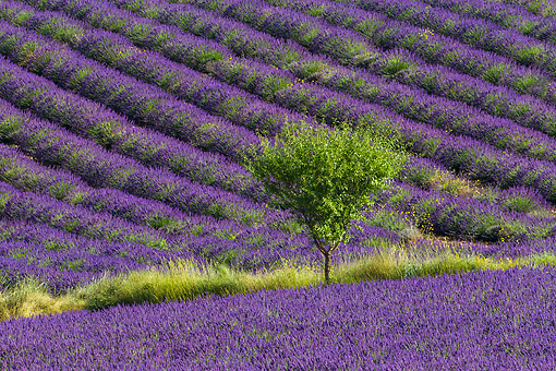 LAN 08 KH0105 01 © Kimball Stock Field Of Lavender And Almond Tree In Valensole Provence, France