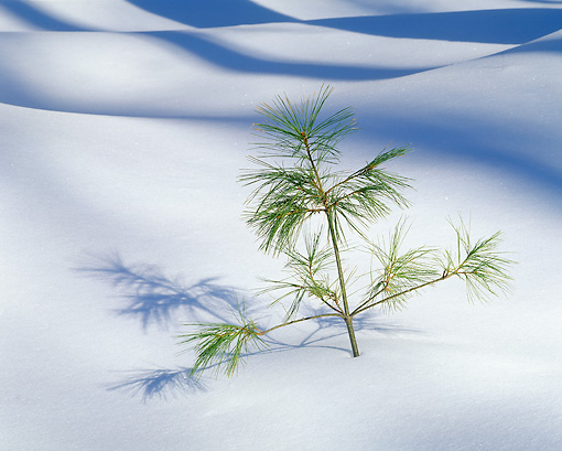 LAN 09 JZ0006 01 © Kimball Stock Young Pine Tree In Snow Drift