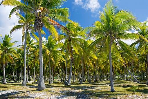 LAN 09 KH0028 01 © Kimball Stock Coconut Trees In French Polynesia