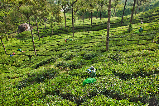 LAN 09 MH0014 01 © Kimball Stock Tea Plantation And Workers In Munnar, Kerala, India