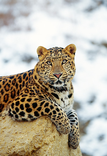 LEP 10 RK0041 09 © Kimball Stock Amur Leopard Laying On Rock Facing Camera