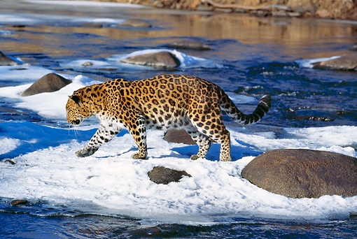 LEP 10 RK0119 01 © Kimball Stock Amur Leopard Walking On Snow By Rocks And Water Looking Down