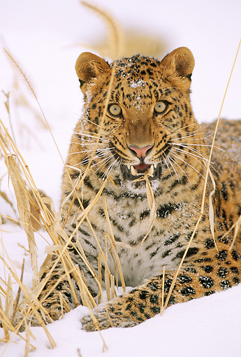 LEP 10 LS0001 01 © Kimball Stock Potrait Of Amur Leopard Laying On Snow