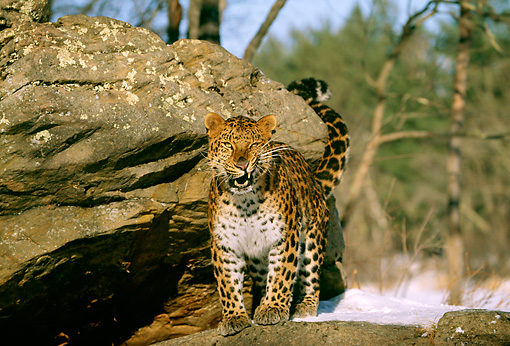 LEP 10 LS0002 01 © Kimball Stock Amur Leopard Standing By Rock In Winter