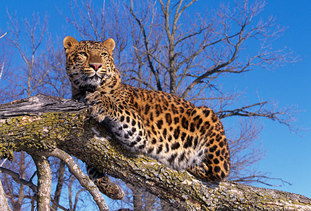 LEP 10 RK0009 08 © Kimball Stock Amur Leopard Laying On Branch Full Body