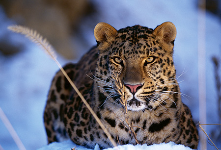 LEP 10 RK0026 02 © Kimball Stock Amur Leopard Laying Down In Snow Facing Camera