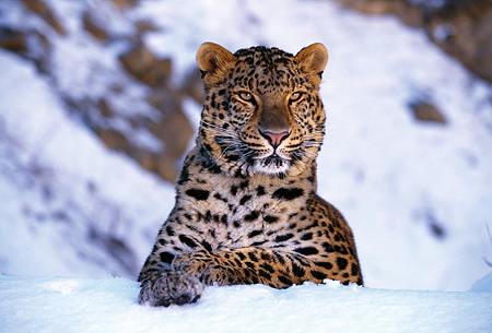LEP 10 RK0029 02 © Kimball Stock Amur Leopard Laying Down On Snow Facing Camera
