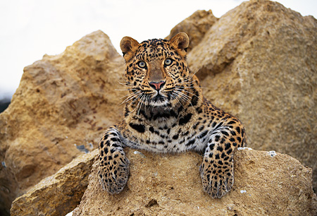 LEP 10 RK0042 12 © Kimball Stock Amur Leopard Laying Facing Camera On Rock Paws Out