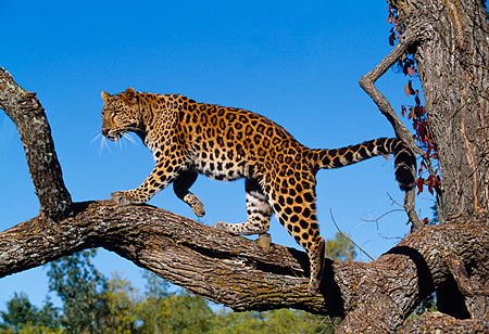 LEP 10 RK0051 01 © Kimball Stock Amur Leopard Standing On Tree Branch Growling Blue Sky