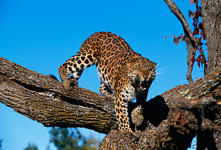 LEP 10 RK0056 05 © Kimball Stock Amur Leopard Standing On Tree Branch Growling Towards Camera Blue Sky