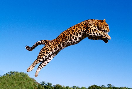 LEP 10 RK0063 05 © Kimball Stock Amur Leopard Jumping Off Wooden Spindle Into Air