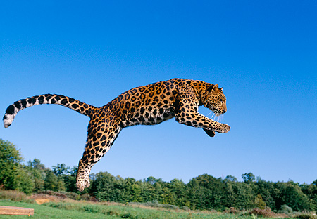 LEP 10 RK0063 10 © Kimball Stock Amur Leopard Jumping Off Wooden Spindle Into Air