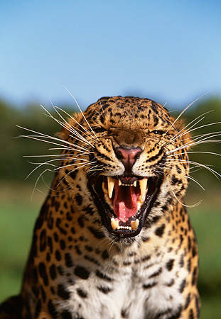LEP 10 RK0079 03 © Kimball Stock Close Up Head Shot Of Amur Leopard Growling At Camera Grass And Blue Sky