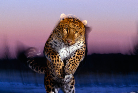 LEP 10 RK0082 02 © Kimball Stock Amur Leopard Running Towards Camera With Movement Pink Clouds Background At Dusk
