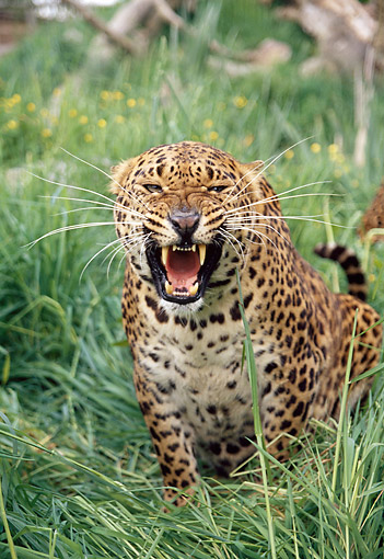 LEP 20 GL0006 01 © Kimball Stock Portrait Of Spotted Leopard Growling In Tall Grass