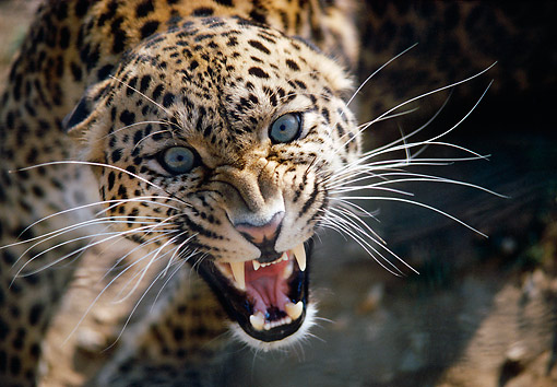 LEP 20 GL0007 01 © Kimball Stock Head Shot Of Leopard Growling