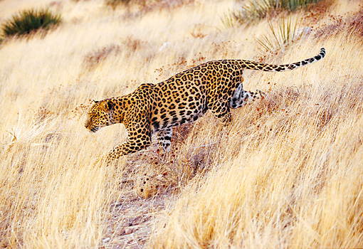 LEP 20 RK0020 05 © Kimball Stock Spotted Leopard Walking Profile Through Tall Golden Grass At Dusk