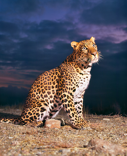 LEP 20 RK0028 01 © Kimball Stock Spotted Leopard Flynn Sitting Profile On Dirt Dark Clouds At Night